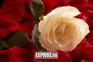макро съемка розы